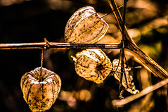 Chinese Lanterns (smaustin56) Tags: autumn illinois seedpods flowersplants