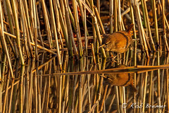 Winterkoning / Wren -2219 (rob.bremer) Tags: reflection bird nature water outdoor wildlife dunes natuur aves wren duinen riet castricum vogel kennemerduinen reflectie troglodytestroglodytes duinlandschap winterkoning infiltratiegebied noordhollandsduinreservaat