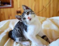 Perla (Claudia Saavedra Belmar) Tags: cat gato gata mascota gatita