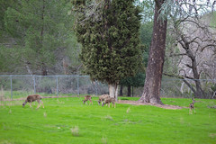 Oh Deer (tourtrophy) Tags: wildlife deer livermore canonef135mmf2l veteranpark bayareawildlife canoneos5dmark3