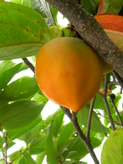 starr-060916-8874-Diospyros_kaki-fruit-Kula-Maui (Starr Environmental) Tags: diospyroskaki
