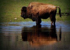 Aah! The Pause that Refreshes (@ Pam Cahill) Tags: park reflection texture pond buffalo national yellowstone bison