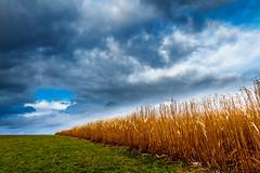 Goldstrahlendes Schilffeld / Gold shining reed field (ku.keser) Tags: light cloud black color reed yellow landscape licht pflanzen wolken struktur structure gelb blau landschaft farbe schwarz schilf farben ort gegenstand stil merkmale