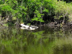 Six Mile Cypress Slough Preserve (failing_angel) Tags: florida wetland esterobay fortmyers fortmyer sixmilecypressslough sixmileslough 240515 sixmilecypresssloughpreserve linearecosystem naturaldrainageway