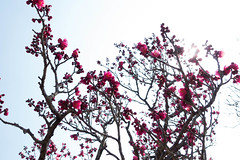 Ume-blossoms (nak.viognier) Tags: osaka   umeblossoms bampakupark sonydscrx100m3