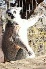 Popeye (International Exotic Animal Sanctuary) Tags: bear brown white mountain black animal tiger tail lion ring international exotic american lemur grizzly puma cougar bengal sanctuary ocelot enrichment ieas