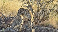 Cheetah female and cubs (naturegirl99) Tags: kenya cheetah mammals samburu cheetahcubs cheetahfamily