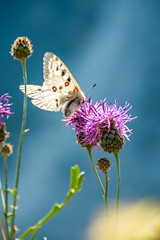 Papillons 6 (Maxime Bonzi) Tags: photo france queyras flowers flower image arvieux hautes fleur montagne butterfly papillon pics alpes vallée verdoyant herbe fleurs herbes