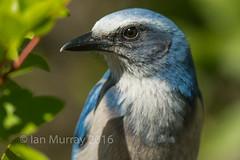 IMG_5192 Endangered Cape Coral Scrub Jay (Wallace River) Tags: florida endangered scrubjay capecoral