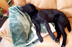 It's a hard knock life. (d2roberts) Tags: dog labrador sleepyhead