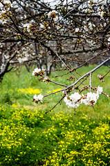 Cherry blossom take 2 (Bruce_of_Oz) Tags: cherry blossom kodak voigtlander 400uc bessamatic cherryorchard 1354 dynarex