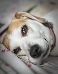 Beagle eyes (mark.abrams81) Tags: