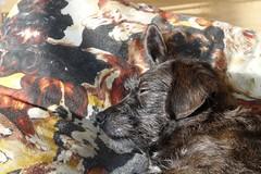 Repos bien mrit (M@nu ) Tags: chien animal animaux visage repos sieste luminosit