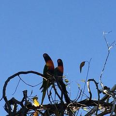 Rainbow lorikeets (Figgles1) Tags: bird birds rainbow lorikeet lorikeets rainbowlorikeets iphone trichoglossushaematodus img0586 rainbowlorkieet