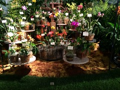 Orchid Society of Santa Barbara display (cieneguitan) Tags: flower flora lan ran orkid okid angrek anggerek