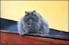 The gatekeeper. (Papa Razzi1) Tags: cat gatekeeper 2016 6907 91365 petterfagge´sinn