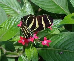 (sftrajan) Tags: macro southamerica butterfly insect colombia papillon botanico botanicgarden mariposa botanicalgarden medellin schmetterling jardnbotnico insecto  2016 mariposario amricadelsur  jardiin  jardnbotnicodemedelln jardnbotnicojoaqunantoniouribe    botanicalgardenofmedelln medellnbotanicgarden