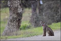 2016-03-10_11-05-15 (A Alejandro) Tags: grande gato lynx iberian lince ibrico