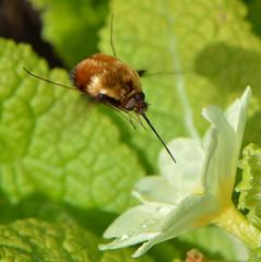 Beefly (Aston) Tags: macro spring flies beefly 2016 darkedgedbeefly