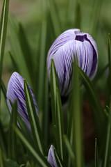 Stripes (gripspix (OFF)) Tags: flower nature natur crocus blume krokus 20160310