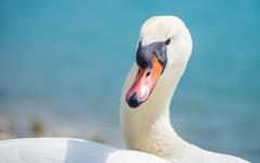 swans (34) (Vlado Ferenčić) Tags: bird birds animals swan lakes croatia swans animalplanet hrvatska nikkor8020028 nikond600 zaprešić lakezajarki