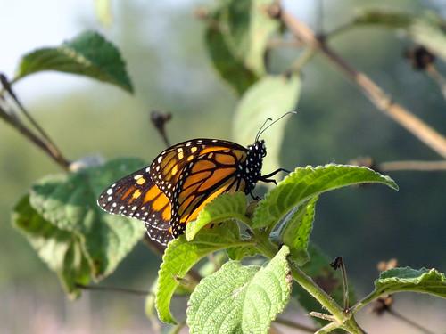 Mariposa monarca 2