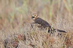 _NAT9575 (VictorD7000) Tags: espaa fauna aves alicante torrevieja circuspygargus rapaces aguiluchocenizo nikond7200 sigma150600sport pnlagunasdelamatatorrevieja