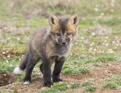 Red Fox Kit (T0nyJ0yce) Tags: wild baby cute cub wildlife young adorable fox kit pup carnivore redfox vulpesvulpes babyanimals specanimal specanimalphotooftheday