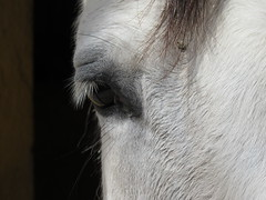 Triste mirada (javicano30) Tags: horse white color eye textura blanco nature animal contrast portraits canon hair caballo cheval tristeza countryside eyes sad y bokeh head perfil retrato negro oeil ojos views cabeza 50 blanche mirada 3000 favoritos cabra 1000 pelo cortijo 4500 melancolia pestaas frias animaleyes 100faves 150faves 3000enunda 100favoritosenunda