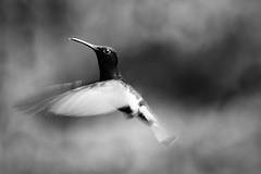 Angel wings (Thelma Gatuzzo (off the air)) Tags: fauna flora hummingbird sopaulo natureza aves hummingbirds pssaros beijaflor colibri 2015 mataatlantica colibris montealegredosul avesbrasileiras pssarosbrasileiros pousadadafazenda thelmagatuzzophotography thelmagatuzzo