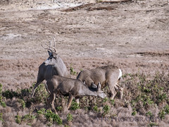 Autumn pursuits...  Oolala II (VFR Photography) Tags: nature animal animals natural nps wildlife doe antlers northdakota nd does buck nationalparkservice muledeer bucks antler rut medora lateautumn mulies billingscounty theodorerooseveltnationalparksouthunit