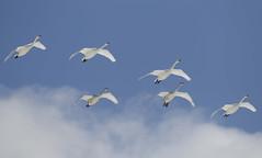 Japan (richard.mcmanus.) Tags: birds japan hokkaido wildlife swans akan gettyimages mcmanus whooperswans
