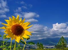 Sunflower (Shehzaad Maroof Khan) Tags: blue pakistan sky sun mountains flower green nature garden landscape shimla nikon peace earth hill sunflower abbottabad
