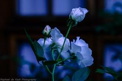Easter Flowers in the Garden! (Raphael de Kadt) Tags: light rose garden easter dof bokeh beautifullight johannesburg fujifilmxt1 fujinonxf1655mm