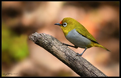 Nature Of Pakistan (wajahat malik) Tags: travel light detail forest outdoors photography photoshoot bokeh naturallight wilderness selectivefocus 400mm colourfull canonguy orientalwhiteeye coloursofnature nationgeographic birdsofpakistan wwfpakistan fornaturelovers beautyofpakistan vjmalik