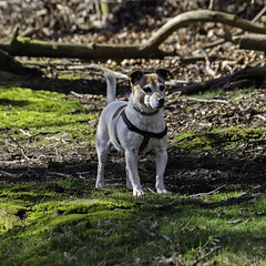 High Alert - 52 Weeks For Dogs,15/52 (me'nthedogs) Tags: jrt somerset terrier snaps jackrussell quantocks 1552 holford 52weeksfordogs