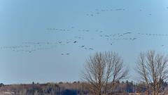 Canada Goose0 (PhotoCity.CA) Tags: sky nature birds spring ottawa goose migration canadagoose homeland migratorybirds
