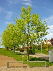 Acer platanoides (Jörg Paul Kaspari) Tags: tree spring acer baum platanoides trier abre frühling petrisberg 2016 acerplatanoides spitzahorn petrispark
