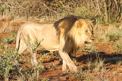 IMG_9109 (Kev Gregory (General)) Tags: kev gregory sigma 50500 africa african field guide madikwe game reserve michael wesraadt lelapa safari lodge district marico river town groot grootmarico botswana border operation phoenix bushveld conservation lion male pair friend friendship bond unison alpha together south southern holiday