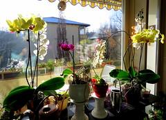 ~ * ~ Orchideen ~ * ~ (relibu) Tags: spiegelung sonnenschein orchideen daheim blumenfenster