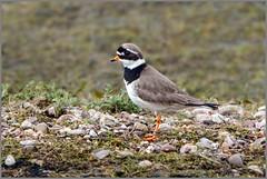 Ringed Plover (Charadrius hiaticula), Marsh Lane NR (Warrener) Tags: plover ringed charadriushiaticula marshlanenr
