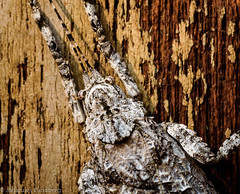 Cryptic camouflage (JohannesLundberg) Tags: expedition burma myanmar mm orthoptera tettigoniidae ensifera insecta kayah myanmarburma tettigonioidea pseudophyllinae crypticcamouflage cymatomerini bawlakhe