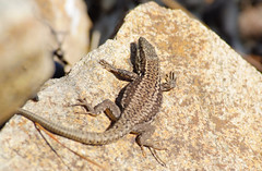 Lizard in France 1 (andys-pics) Tags: france brittany fuji reptile lizard arradon nikondslr s5pro arcpicscouk