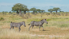 Following mum (Tris Enticknap  (away for a while)) Tags: tanzania zebra plainszebra burchellszebra ruahanationalpark commonzebra equusquagga nikon24120mmlens nikond610