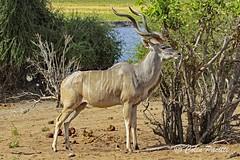 greater kudu7 (tragelaphus strepsiceros) (Colin Pacitti) Tags: animal outdoor horns wildanimal kudu greaterkudu coth tragelaphusstrepsiceros malekudu fantasticwildlife coth5 hennysanimals sunrays5