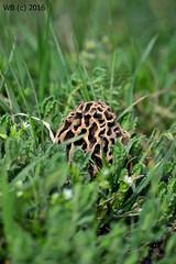 DSC_0119n wb (bwagnerfoto) Tags: nature mushroom nationalpark pilze gomba lobau donauauen kucsmagomba outdoog