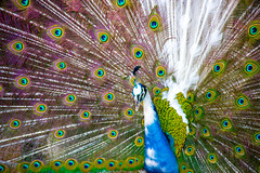 Proud as a Peacock (_mikawa) Tags: bird nature animal proud peacock colourful
