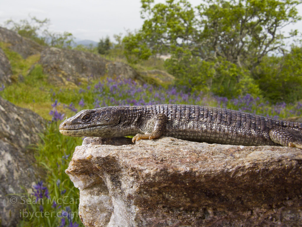 The World's newest photos of northernalligatorlizard ...