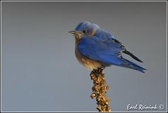 Eastern Bluebird (male) (Earl Reinink) Tags: winter bird nature birds duck spring nikon niagara earl bluebird waterfowl easternbluebird naturephotography woodduck birdphotography nikond5 earlreinink reinink htzdhdhdra rurdtdhdra