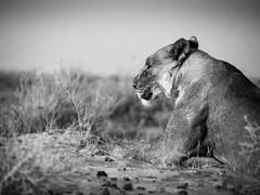 Lejonhona (fredrikholt) Tags: bw lumix olympus panasonic namibia etosha omd 100300 lejon em5